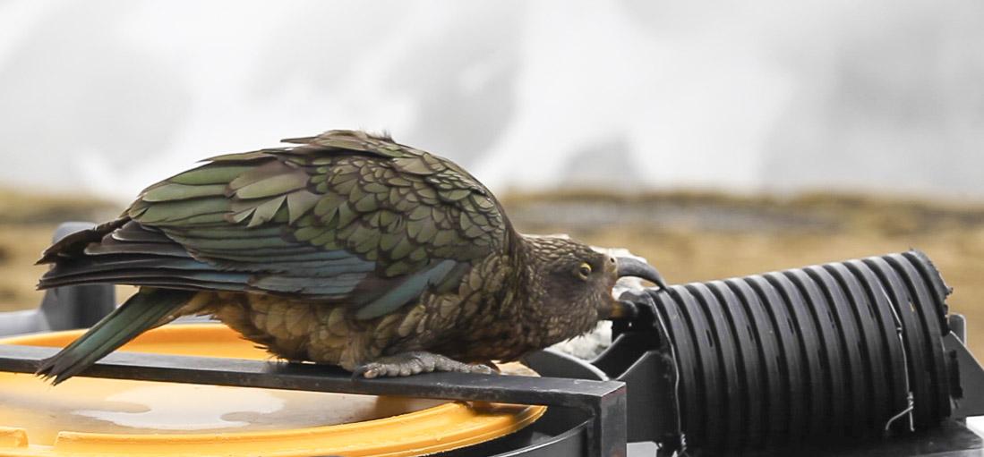 Kea wrecker