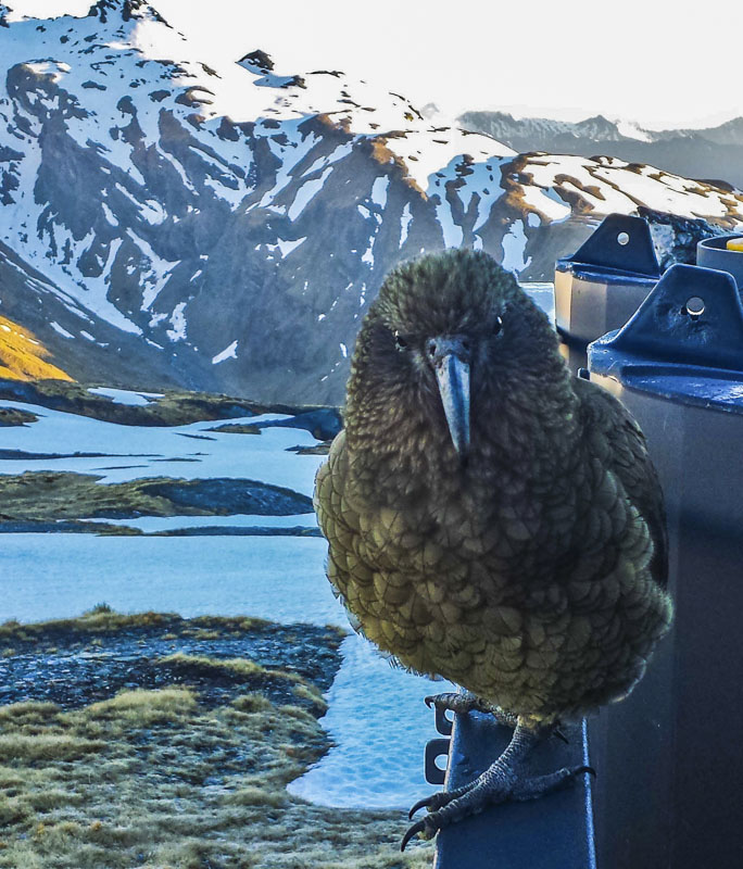 Kea at saddle